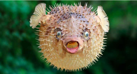 Puffer fish: a 'delicatessen' more poisonous than cyanide